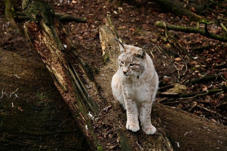 Little cute Wildcat. Der Luchs Wildlife Wildlife & Nature Wildlife Photography Beautiful Nature Animals In The Wild Animal Lynx Luchs Portrait Feline Leopard Domestic Cat Close-up Tiger White Tiger Cat Zoo Big Cat Undomesticated Cat