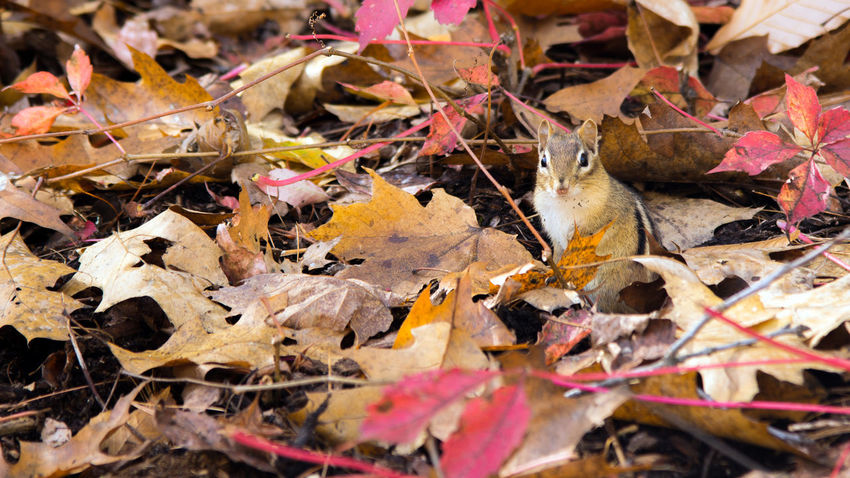 Blink and you'll miss him... Autumn Animal Themes Animals In The Wild Change Chipmunk Close-up Day Dry Leaves Mammal Maple Leaf Nature No People One Animal Outdoors EyeEmNewHere
