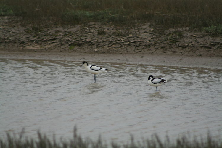 Avocet pair