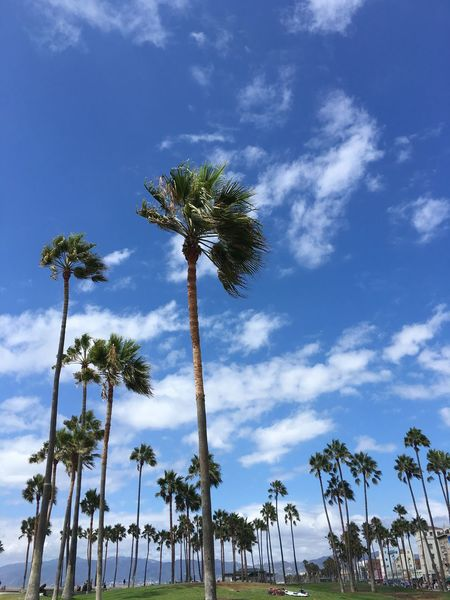 Beauty In Nature Blue Cloud - Sky Day Growth Low Angle View Nature No People Outdoors Palm Tree Scenics Sky Tall - High Tranquility Tree Tree Trunk