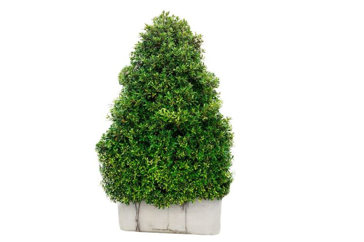 Tree white background Studio Shot Green Color White Background Plant Indoors  Growth Copy Space No People Tree Cut Out Nature Food And Drink Close-up Still Life Freshness Food Herb Beauty In Nature Green