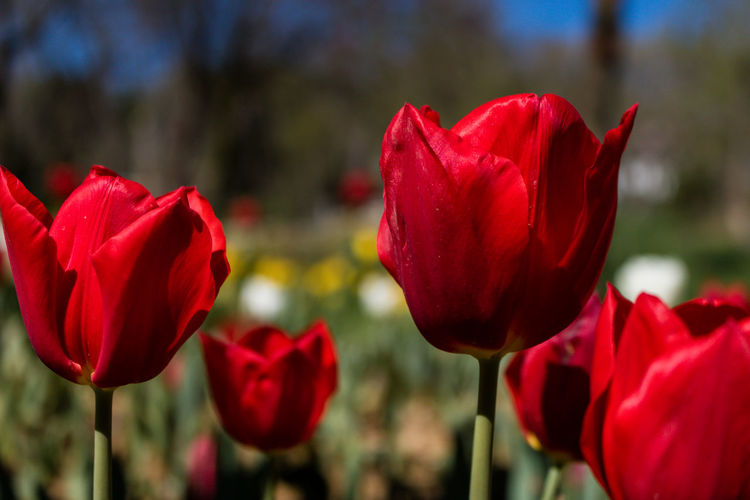 tulips in the park Flower Flowering Plant Plant Beauty In Nature Growth Fragility Freshness Vulnerability  Close-up Petal Nature No People Day Flower Head