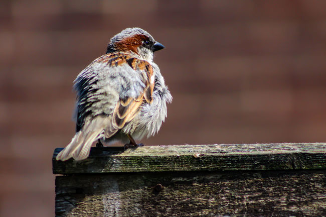 Animal Animal Themes Animal Wildlife Animals In The Wild Bird Close-up Day Focus On Foreground Full Length Looking Looking Away Nature No People One Animal Outdoors Perching Railing Sparrow Vertebrate Wood - Material
