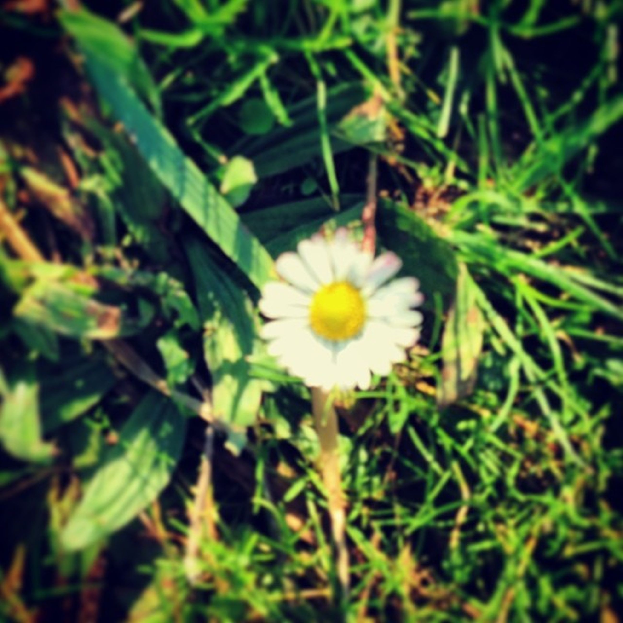 flower, freshness, fragility, growth, petal, flower head, beauty in nature, yellow, plant, blooming, single flower, nature, daisy, close-up, white color, high angle view, field, in bloom, selective focus, green color