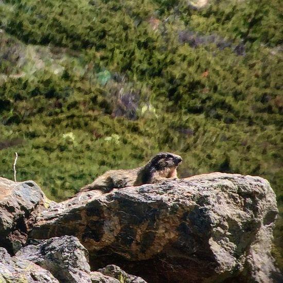 Marmota Marmota Encamp Springtime