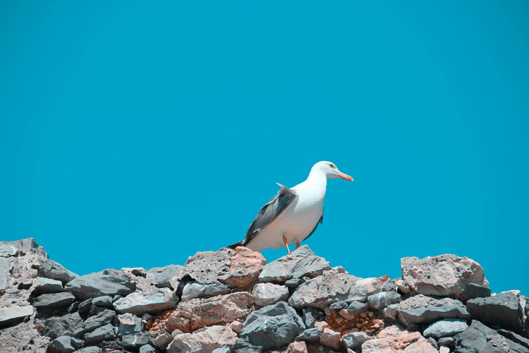 Seagull perching on rock against blue sky