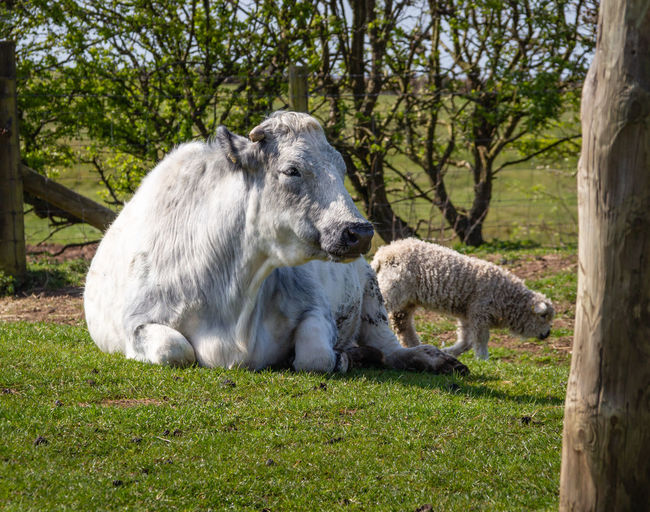 Cotswold Fatm Park Farmyard Animals Farm Spring Outdoors No People Vertebrate Mammal Two Animals Group Of Animals Livestock Cow Sheep
