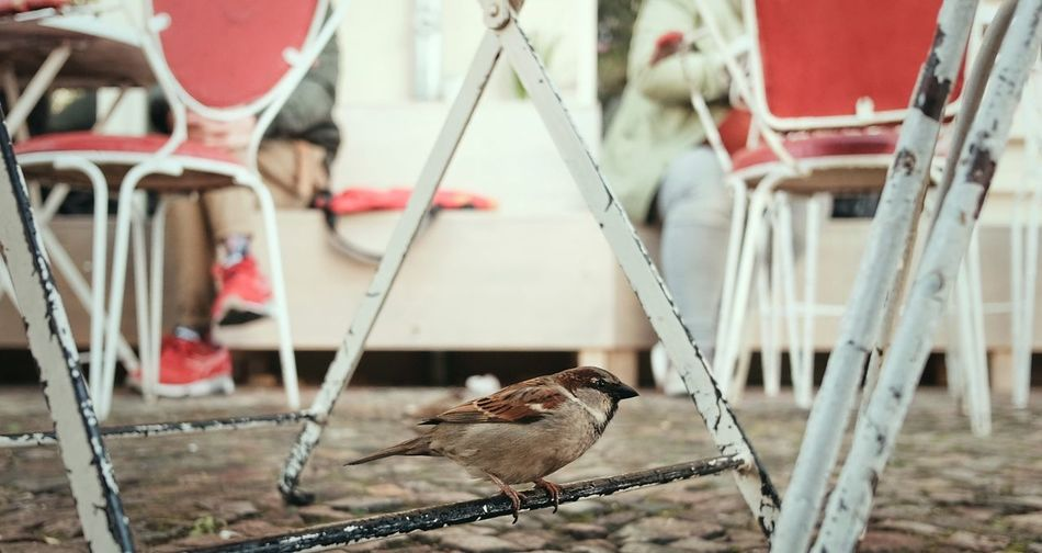 Sparrow Perching On Metal Rod Of Table At Sidewalk Caf