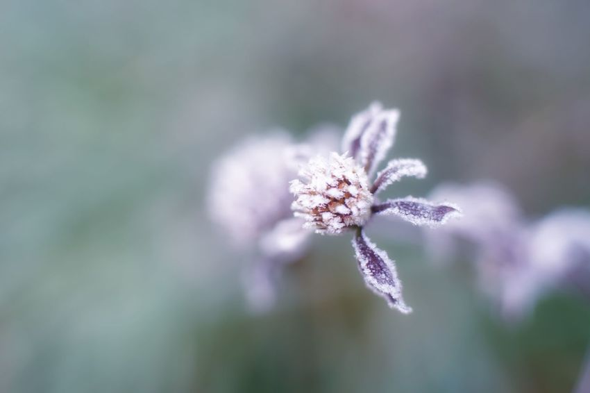Capture The Moment Frost Withered Beauty Beauty In Nature Cold Temperature Nature Macro Fantasy Fine Art Fragility Still Life Depth Of Field Taking Photos Tranquil Scene Tranquility Bokeh Photography Selective Focus Light And Shadow Pale Macro Winter Detail Oldlens EyeEm Best Shots 16_11