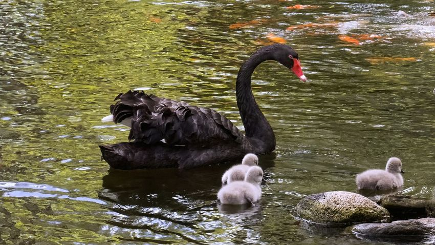 Swimming with fish Black Swan Cygnets Pond Life Bird Photography My Favorite Photo