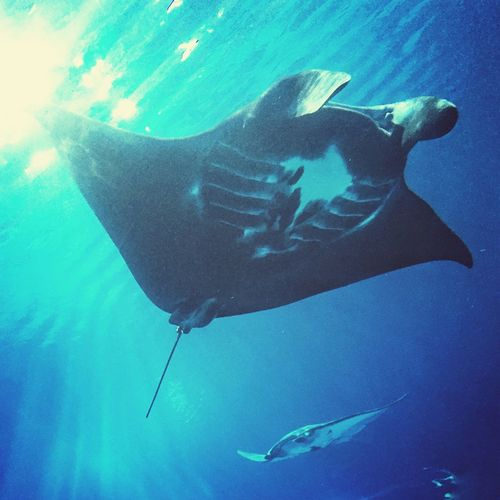 Seamantaray Underwater Mantaray Nature EyeEm Nature Lover