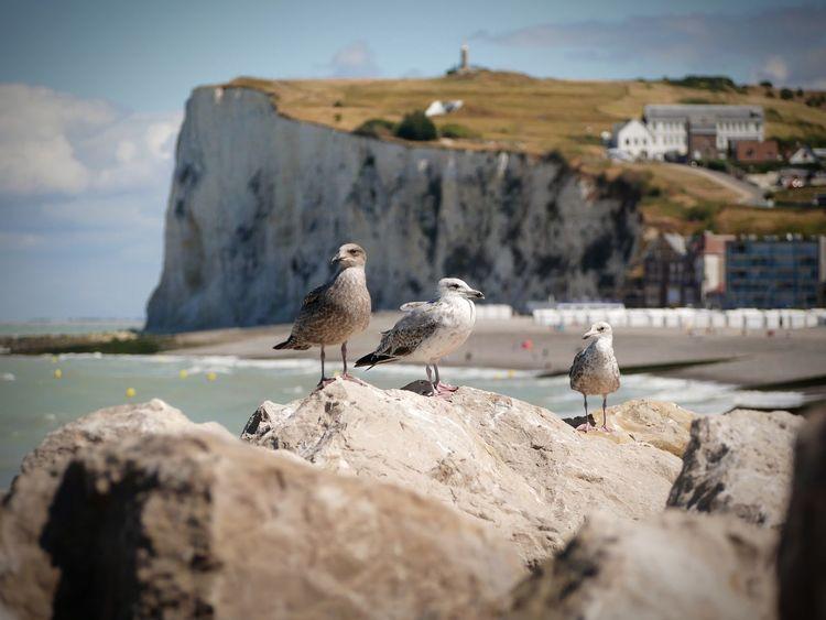 Goélands à Mers les Bains Goeland Falaise Galet EyeEm Selects Bird Sea Beach Sand Rock - Object Sky
