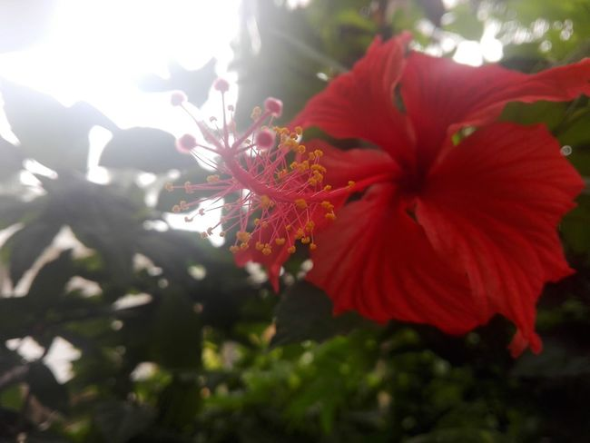 Flower Red Nature Fragility Beauty In Nature Blossom Petal