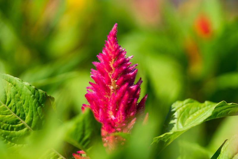 Tokyo,Japan Plant Flower Beauty In Nature Growth Flowering Plant Close-up Plant Part Focus On Foreground Nature No People Fragility Vulnerability  Pink Color Day Purple Freshness Outdoors Leaf Green Color Inflorescence