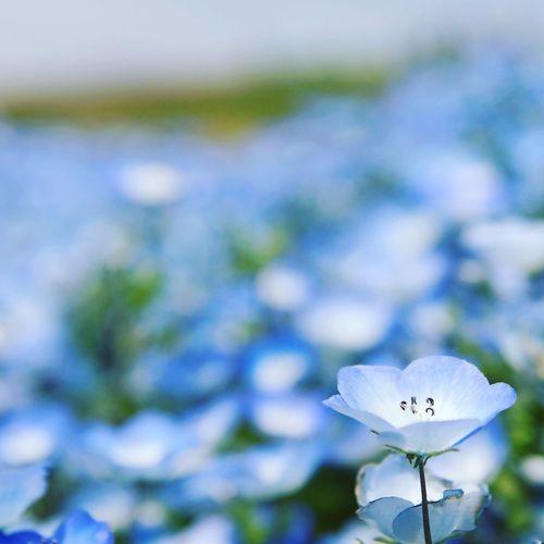 BabyBlueEyes Blooming Blue Flowers Nature Nemophila