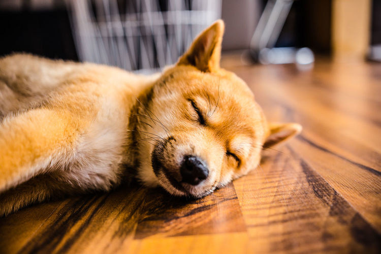 Close-up of dog sleeping on hardwood floor