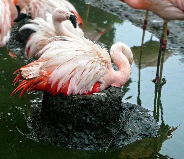 Pink flamingo. Incubating the egg Hatching Pink Flamingo Pond Animal Themes Animal Wildlife Bird Close-up Colony Day Lake Livestock Nature Nest Outdoors Wading Bird Water