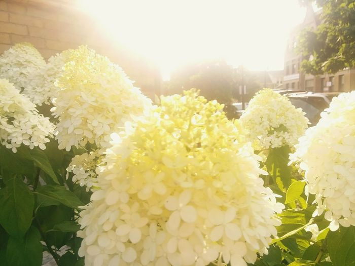 Summer Sunshine Goldlight Warm Colors Flower Flower Head Sunlight Sun Agriculture Lens Flare Sunbeam Back Lit Close-up Plant In Bloom Plant Life Blossom Hydrangea Flowering Plant Petal Pollen