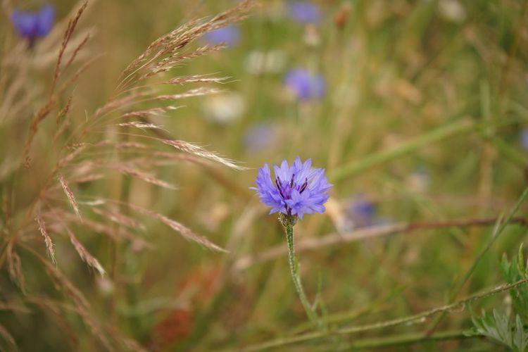 Summer Flowers Blue Kornblume Cornflower Learn & Shoot: Layering Pastel Power Nature Photography Blue Flowers The Essence Of Summer- 2016 EyeEm Awards