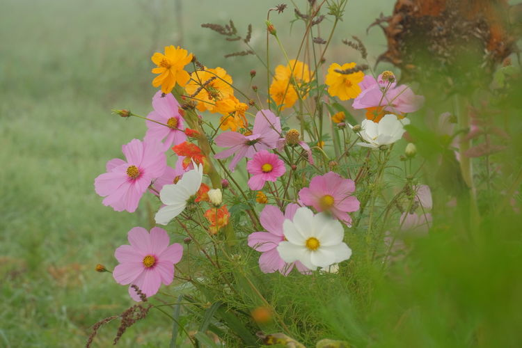 Cosmos Flower Foggy Weather Beauty In Nature Blooming Blooming Cosmos Flower Flower Head Fog In The Trees Nature Outdoors Pastel Colors Pink Flower White Flower