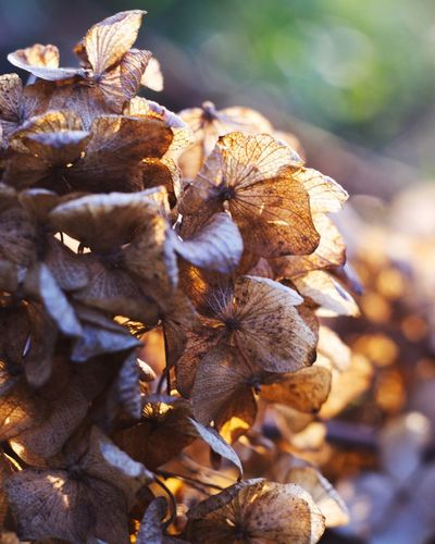 withered Withered Hydrangea Withered Flower EyeEm Selects Nature No People Plant Close-up Outdoors Flower Flower Head