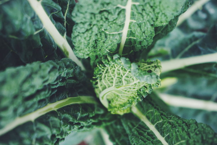 black kale Plant Leaf Close-up Green Color No People Healthcare And Medicine Growth Nature Plant Part Healthy Eating Herbal Medicine Day Outdoors Healthy Food Healthy Kale Curly Kale Black Kale Leafs Vegetable Vegetables Agriculture Freshness Harvest
