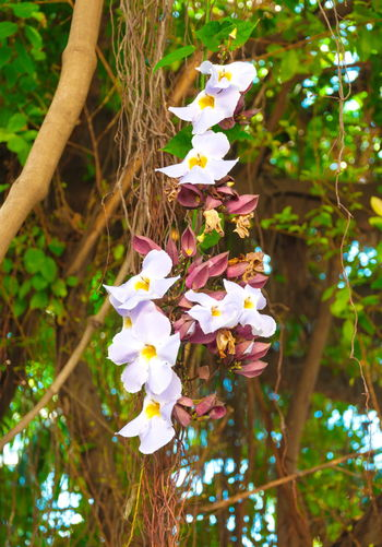White Daphne tangutica on Banyan tree Banyan Banyan Tree Banyan Tree Roots Beauty In Nature Blooming Branch Close-up Daphne Day Flower Flower Head Fragility Freshness Growth Nature No People Outdoors Petal Tree