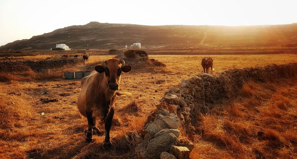 Nature Animal Themes Outdoors Sunset Landscape Rural Scene Sunlight No People Beauty In Nature Cows Island Life