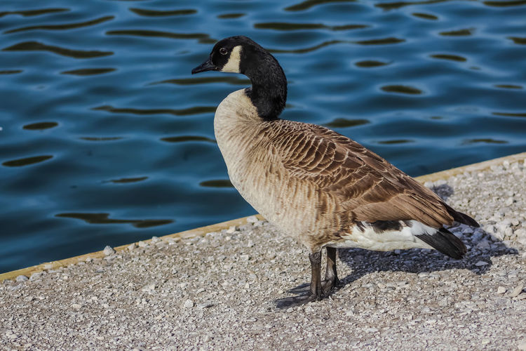 Animal Themes Animal Wildlife Animals In The Wild Bird Canada Goose Canada Goose Close-up Day Greylag Goose Lake Nature No People One Animal Outdoors Water