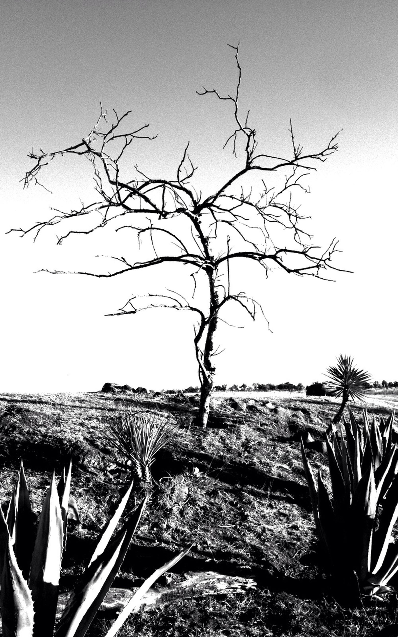 bare tree, clear sky, branch, tree, tranquility, tranquil scene, nature, landscape, copy space, scenics, sky, beauty in nature, day, outdoors, non-urban scene, no people, remote, field, horizon over land, dead plant