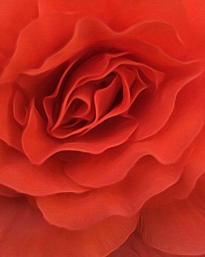 Beatiful single red rose close up Red Rose