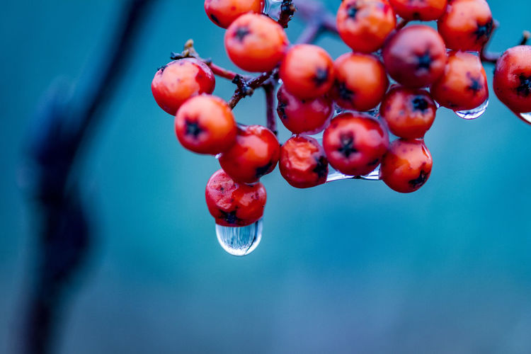 Close-up of red berries with raindrops