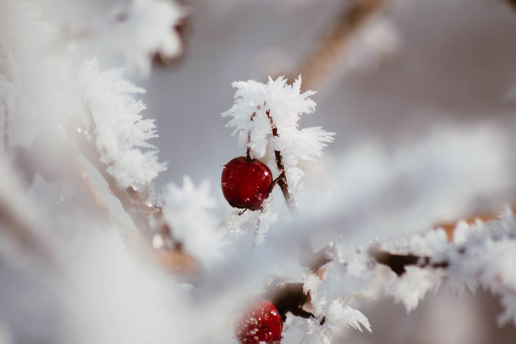 Snow Cold Temperature Winter Frozen White Color Close-up Nature No People Selective Focus Red Beauty In Nature Day Plant Ice Tree Fruit Branch Outdoors Frost Softness