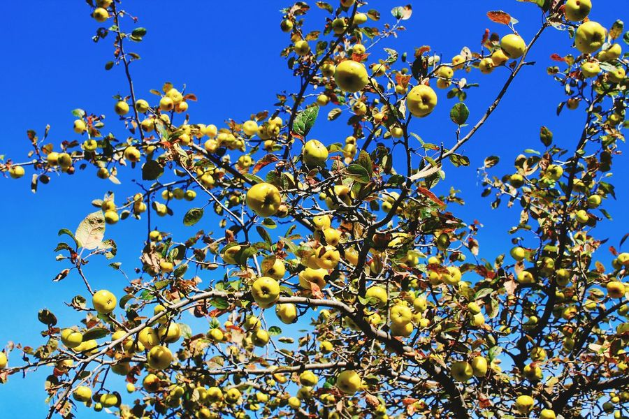 Tree Crab Apple Tree From Where I Stand Look Up Colors Of Autumn Fall_collection Apples