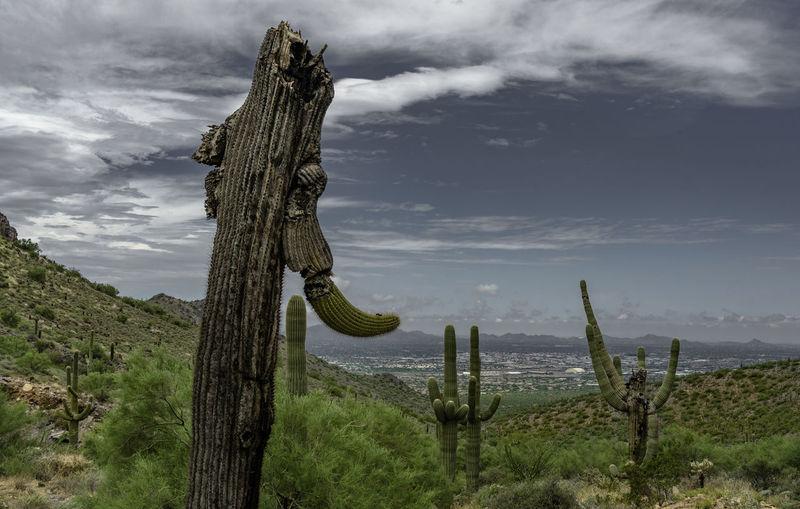 Cactus growing on tree trunk against sky
