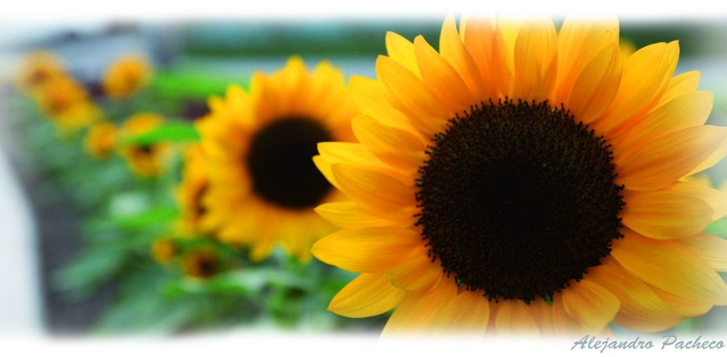 #EyeEm #EyeEm #followme #sigueme #follow #teamEyeEm #teamfollow #teamhurley #teamsurf #surf #backyard #cute #hdr #allshots #teamcute #p #EyeEm Nature Lover #EyeEmBestShots #eyembestshot #Girasoles #sunflower #beauty #sunset #sun #clouds #skylovers #sky #nature #beautifulinnature #naturalbeauty #photography #landscape