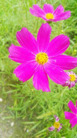 꽃 코스모스