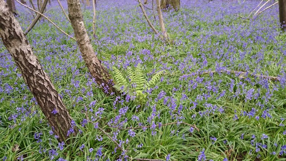 Abundance Beauty In Nature Blue Bluebells Botany Flower Green Color Growing Growth Nature No People Plant Purple Tranquility Tree Trunk