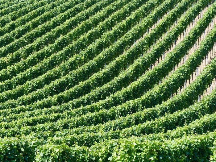 Structure And Nature Vineyard Green Color Growth Full Frame Plant Backgrounds No People Land Field Beauty In Nature Pattern Agriculture Day Nature High Angle View Landscape Crop  Tranquility Environment Sunlight Farm