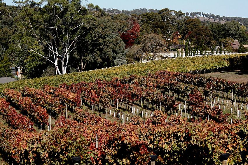 Autumn vineyard Autumn Vineyard Garden Autumn Autumn In The Country