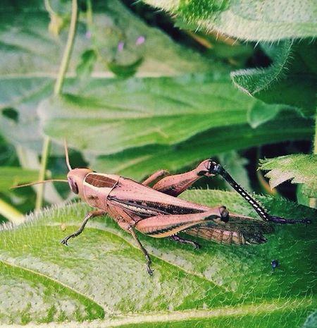Nature Cavalletta Photoofnature Grasshopper