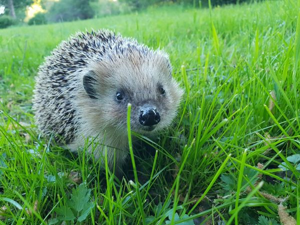 Portrait Looking At Camera Pets Hedgehog Cute Close-up Grass Green Color Grass Area Animal Eye Field