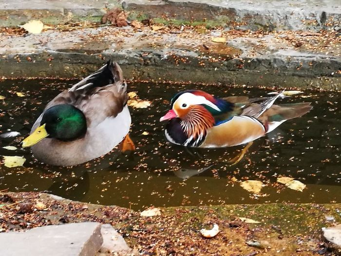Mandarin Duck Bird Animal Themes Duck No People Water Beauty In Nature Swimming Multi Colored Outdoors
