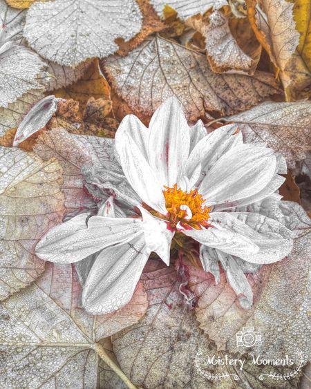 Autumnrose Rose🌹 Flower RoseArt ArtWork Art Eye4photography  Nature Photography EyeEm Best Shots Street Photography Hello World AutumnMoments EyeEm Nature Lover