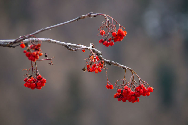 Berries in winter Beauty In Nature Berry Fruit Branch Close-up Day Focus On Foreground Food Food And Drink Freshness Fruit Growth Healthy Eating Nature No People Outdoors Red Rose Hip Rowanberry Tree