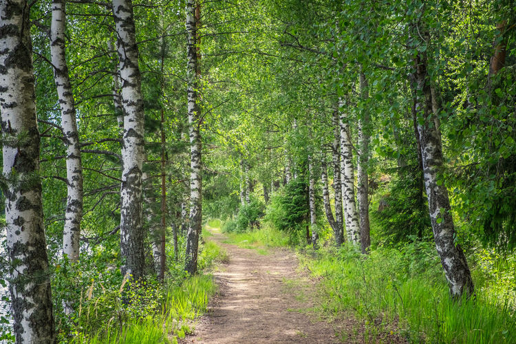 Idyllic path in forest with lush birches at spring day in Finland Forest Plant Tree WoodLand Footpath Tree Trunk Trunk Nature Green Color No People Growth Tranquility Direction Beauty In Nature The Way Forward Tranquil Scene Non-urban Scene Outdoors Scenics - Nature Trail Day Finland Birch Path Pathway