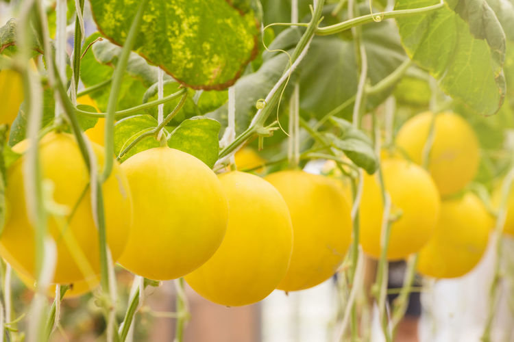 Close-Up Of Yellow Canary Melons Growing On Tree