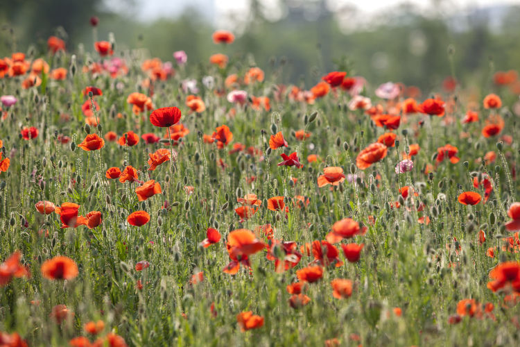 Red poppies blooming on field