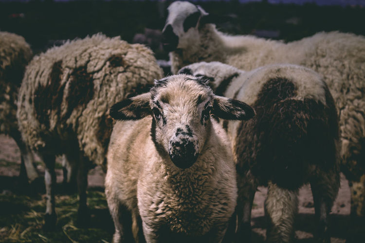 Close up of a sheep in a field. Animal Animal Themes Cattle Domestic Domestic Animals Field Focus On Foreground Group Of Animals Herbivorous Land Livestock Looking At Camera Mammal Nature No People Outdoors Pets Portrait Sheep Standing Vertebrate