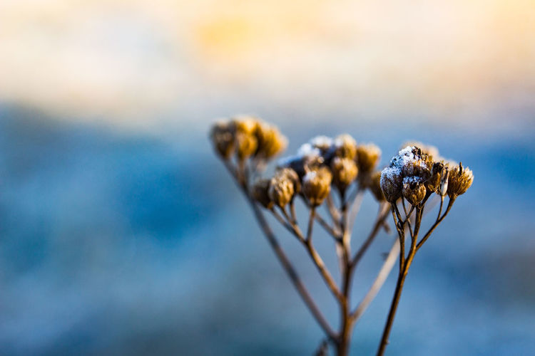 Beauty In Nature Close-up Cotton Plant Day Dried Plant Dry Fragility Growth Nature No People Outdoors Plant